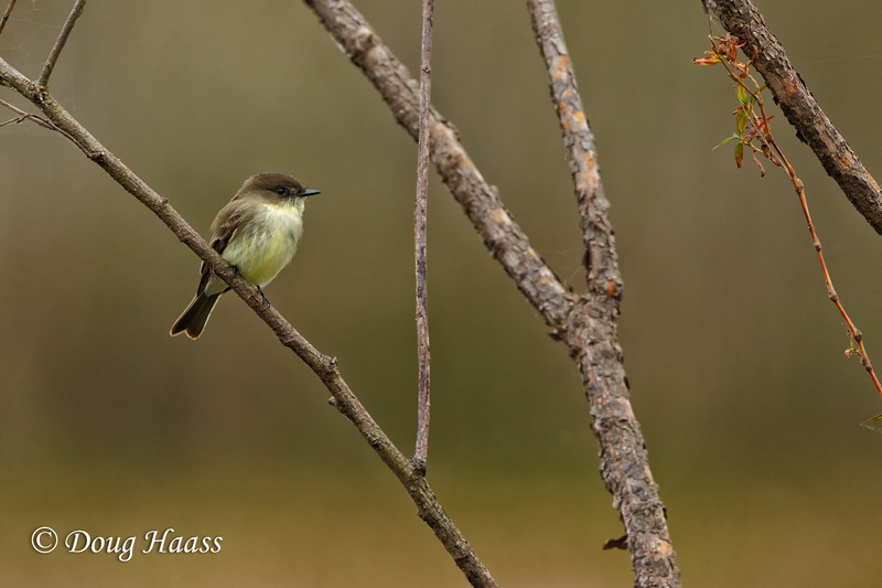 Eastern Phoebe on Elm Lake