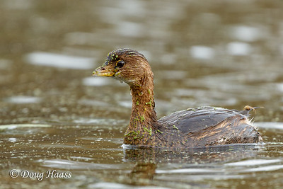 Pied-billed Grebe on Elm Lake
