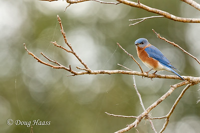 Eastern Bluebird male at Elm Lake picnic grounds