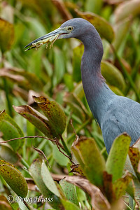 Little Blue Heron Egretta caerulea with Tree Frog in Pilant Slough