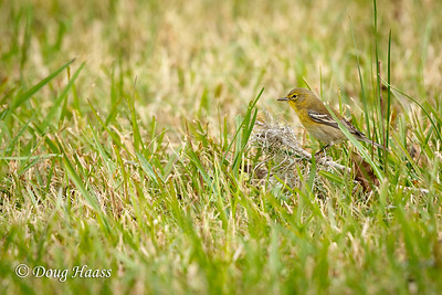Pine Warbler male at Elm Lake picnic grounds