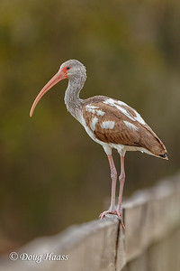 Immature White Ibis on Spillway Bridge