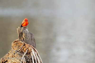 Vermillion Flycatcher male on Elm Lake