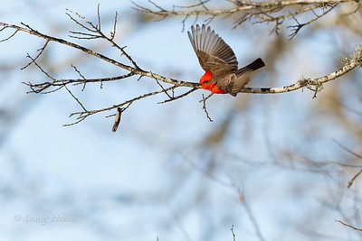 Vermilion Flycatcher adult male on 40 Acre Lake Trail 2/28/2020.