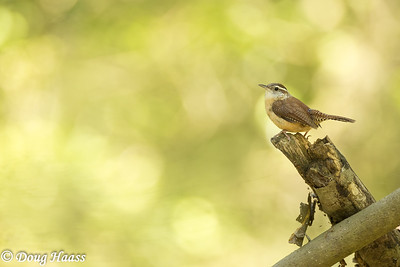 Carolina Wren (Thryothorus ludovicianus)  back deep in Hoot's Hollow at Brazos Bend State Park, Friday 4/24/2020.