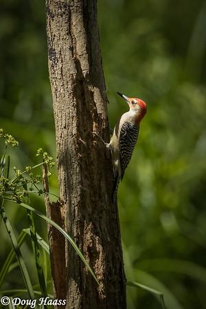 Red-bellied Woodpecker (Melanerpes carolinus) taken in Hoot's Hollow in Brazos Bend SP, Friday 4/24/2020.
