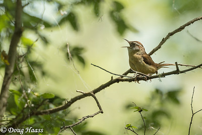 Carolina Wren (Thryothorus ludovicianus) singing, back deep in Hoot's Hollow at Brazos Bend State Park, Friday 4/24/2020.