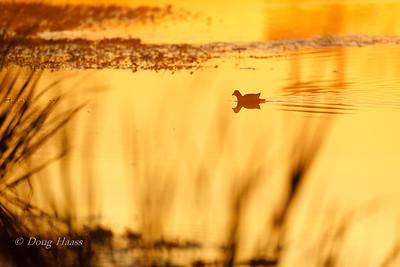 Gallinule on 40 Acre Lake at sunrise 2/28/2020.