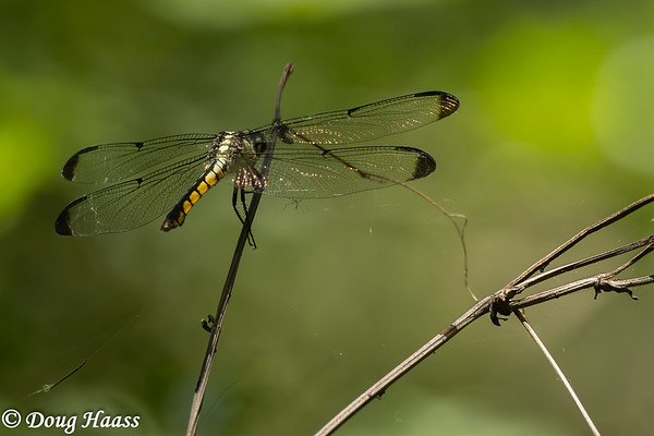 Female Great Blue Skimmer Dragonfly in Hoot's Hollow 4/24/2020.