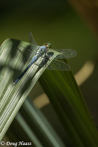 Eastern Pondhawk male (Erythemis simplicicollis) in Hoot's Hollow on a hot Friday afternoon 4/24/2020.
