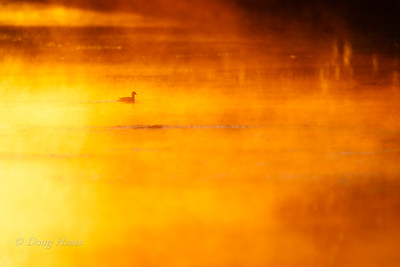 Gallinule on 40 Acre Lake  at sunrise as steam rises out of the water 2/28/2020.
