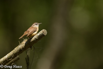 Carolina Wren (Thryothorus ludovicianus) in the spotlight, back deep in Hoot's Hollow at Brazos Bend State Park, Friday 4/24/2020.