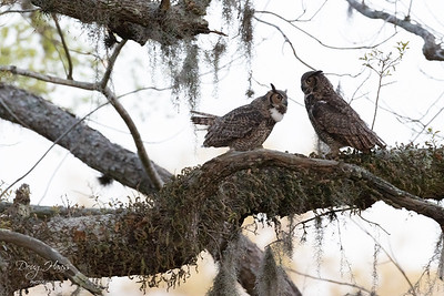 "Both adult Great Horned Owls ""talking "" in the shadows before the sun rises, Friday morning 3/26/2021."