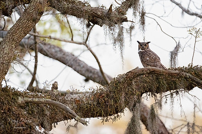 Great Horned Owl adult male 3/26/2021