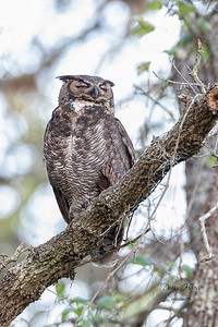 Great Horned Owl adult female resting from a busy night 3/26/2021