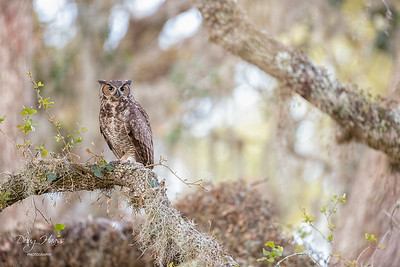Great Horned Owl adult female 3/26/2021