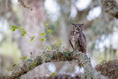 Great Horned Owl adult female 3/26/2021