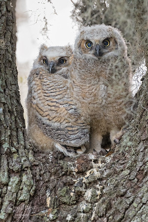 Great Horned Owlets 3/26/2021
