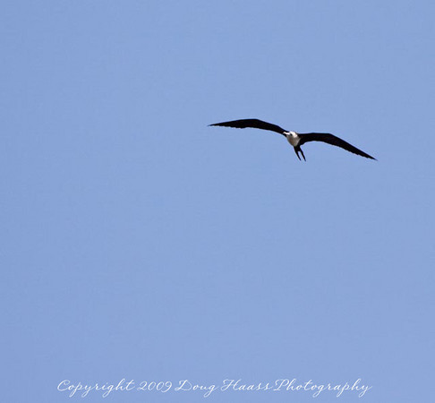 Magnificent Frigatebird (Female)