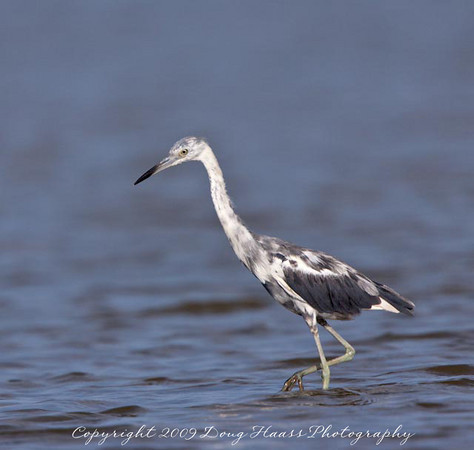 Older Immature Little Blue Heron