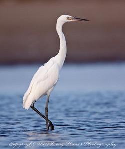 White Morph Reddish Egret