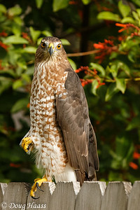 Cooper's Hawk Female Accipiter cooperii