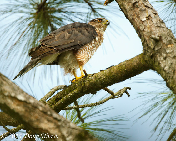 Adult Female Cooper's Hawk Accipiter cooperii