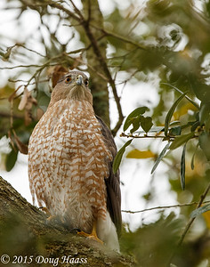 Cooper's Hawk Accipiter cooperii female