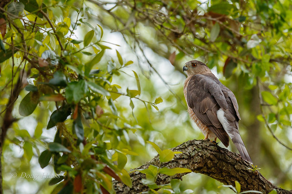 Cooper's Hawk Female 3/15/2018