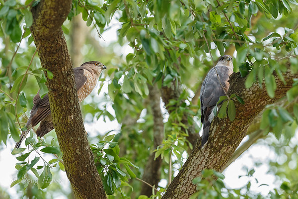 Cooper's Hawk female (left) and male (right) after coupling 3/24/2018