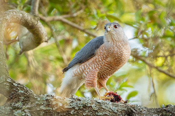 Cooper's Hawk male with his dinner 3/19/2018