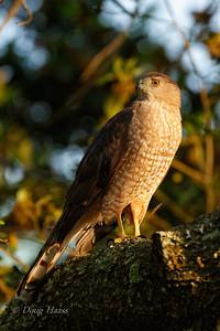 Cooper's Hawk female 3/18/2018