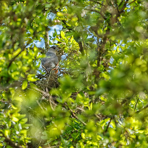 Cooper's Hawk male on the nest 3/25/2018