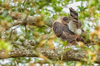 Cooper's Hawk Female preening 3/23/2018
