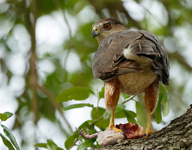 Cooper's Hawk Female with her dinner 3/17/2018