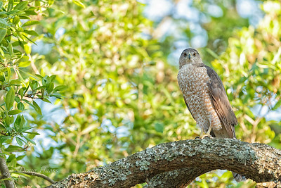 Cooper's Hawk Female 3/22/2018