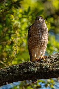 Cooper's Hawk Female 3/20/2018