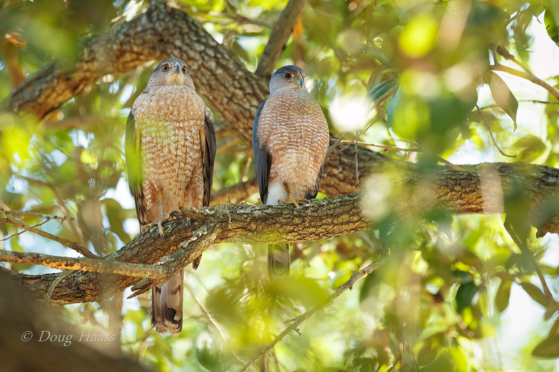 Adult female (left) and adult male (right) Cooper's Hawk 3/26/2019