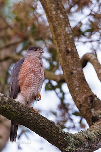 Adult male Cooper's Hawk at rest 3/28/2019.  Always a good sign to see one talon tucked away while you are observing them.  It shows they are relaxed in your presence.