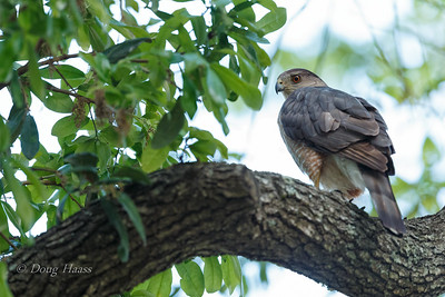 Adult female Cooper's Hawk 3/25/2019