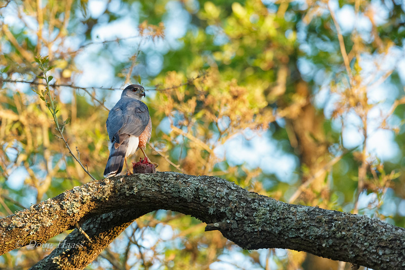 Adult male Cooper's Hawk partaking of his catch 3/27/2019