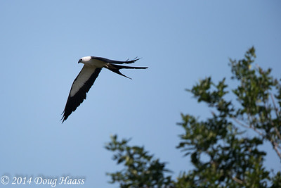 Swallowtailed Kite