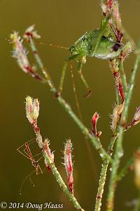 Katydid and Stilt Bug Jalysu ssp.  Need ID of Plant