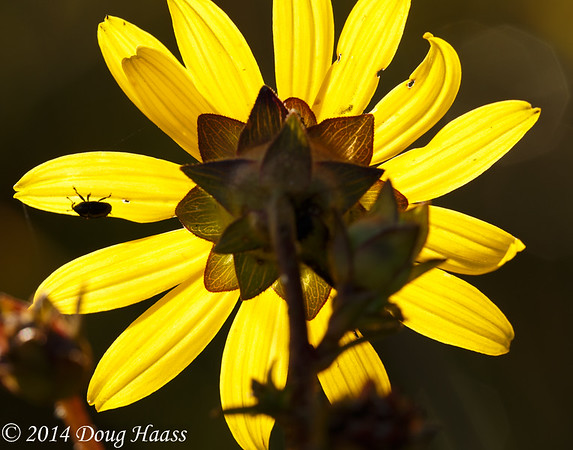 Rosinweed (Silphium gracile) backlit with bug