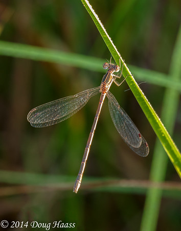 Northern Spreadwing Damselfly Lestes disjunctus female at Sunrise