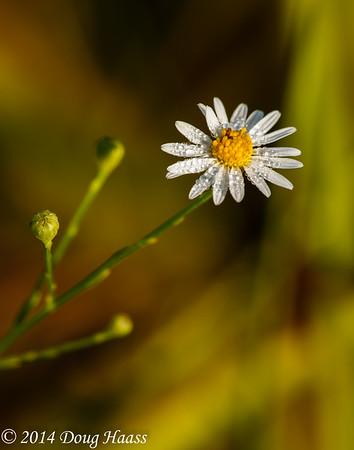 White Prairie Aster Symphyotrichum falcatum covered in dew