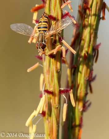 Yellow Jacket Hoverfly (Milesia virginiensis) on Big Bluestem (Andropogon gerardi) #2
