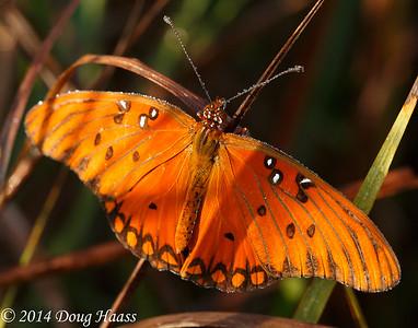Agraulis vanillae - Gulf Fritillary Butterfly in dew