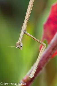 Brown Praying Mantis Up Close
