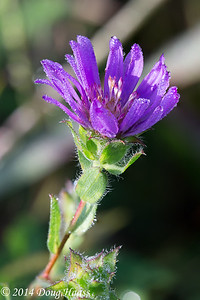 Silky Aster Symphyotrichum pratense covered in dew at sunrise